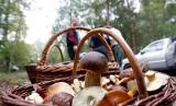 Grzyby w lasach już są! Gdzie się wybrać na grzyby? Sporymi zbiorami już chwalą się nasi Czytelnicy