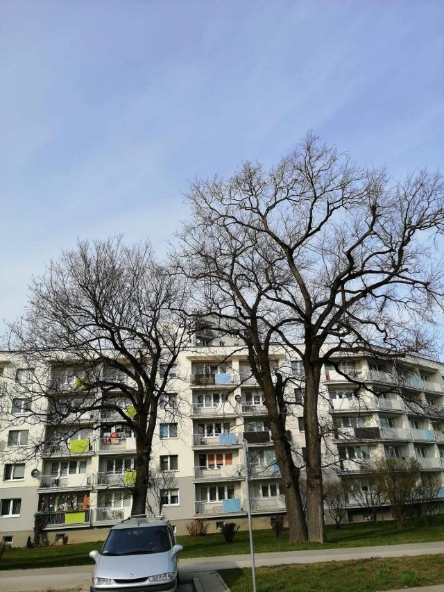 W Stalowej Woli nie brakuje pięknych, wysokich starych drzew, jak te przy ulicy Poniatowskiego