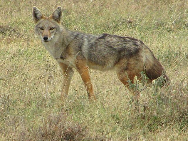 Szakale dochodzą do 15 kilogramów wagi, osiągają 100 cm długości i 50 cm wysokości.  Z wyglądu przypominają lisa na długich nogach. Mają jednak nieco krótszy ogon i inny kształt głowy.