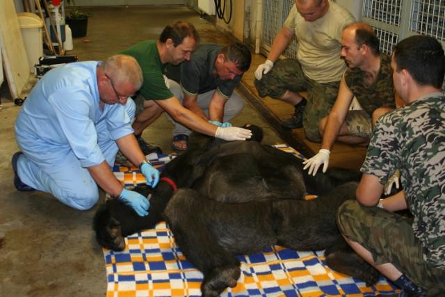 Jeden z opolskich goryli tak się pobił z drugim gorylem, że trzeba mu było założyć kilkanaście szwów. Gojenia tych ran nie można było zostawić naturze.
