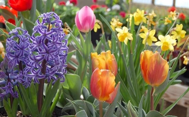 Kolorowe i gotowe do kwitnięcia rośliny można kupić bez trudu, w dodatku nie będzie to duży wydatek.