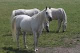 Stadnina w Michałowie sprzedała sześć pięknych koni. Zobacz je [ZDJĘCIA]