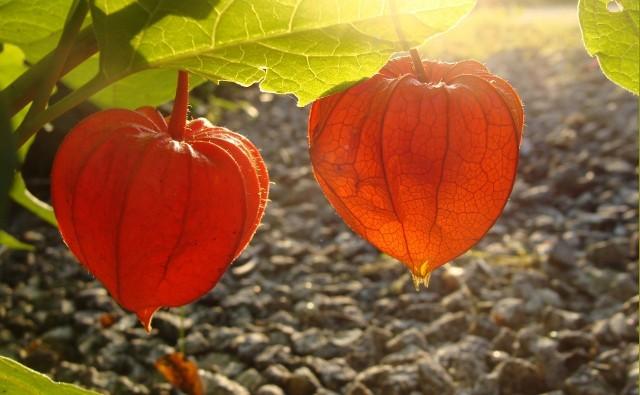 Ozdobą wielu roślin są ich owoce. Warto je mieć w ogrodzie, bo często utrzymują się na gałęziach dłużej niż liście i zdobią ogród również późną jesienią i zimą.