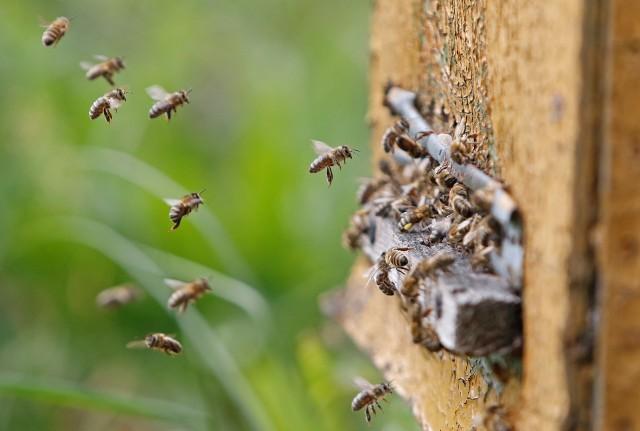 """Czerwiec to miesiąc pszczół i kwitnących facelii. Ich urodę postanowił uwiecznić jeden z naszych czytelników. - Zdjęcia z wizyty w lokalnej, złotnickiej pasiece, która obecnie zlokalizowana jest przy pięknym polu facelii błękitnej. Miód faceliowy jest jednym z najlepszych miodów, nie na darmo facelia błękitna jest nazywana """"królową roślin miododajnych"""" - pisze pan Mikołaj Kamieński, autor.By zobaczyć zdjęcia, przewiń w prawo ---->"""
