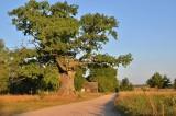 Dąb Dunin znajdujący się w gminie Narew reprezentuje Podlasie w konkursie Drzewo Roku 2021 (zdjęcia)
