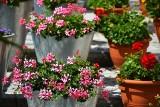 Zimowanie pelargonii krok po kroku. Jak przygotować te rośliny na zimę? Poznaj tajniki pielęgnacji pelargonii