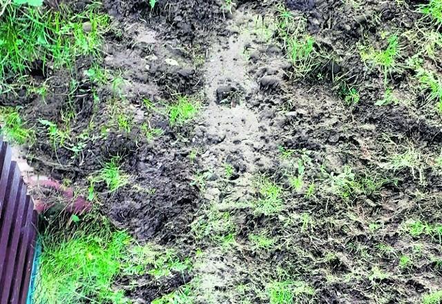 Dziki coraz bardziej ryją tereny ścieżek oraz prywatnych działek  w Rodzinnym Ogrodzie Działkowym Bohaterów Westerplatte.