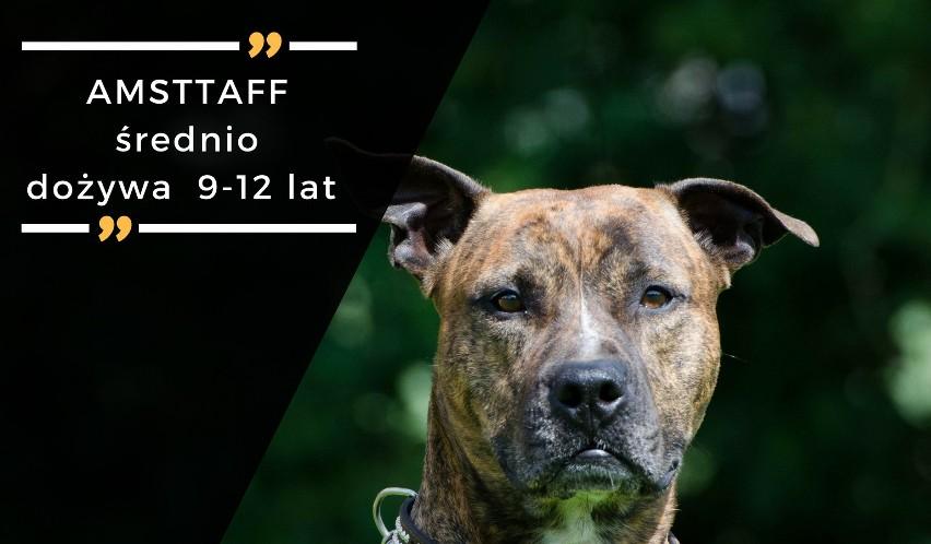 Amstaffy to dynamiczne, odważne i energiczne psiaki. W...