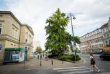 Ponadstuletni miłorząb z Bydgoszczy ma szansę na tytuł Drzewa Roku