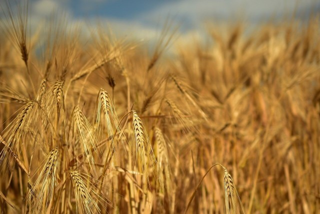 Rolnicy szacują kilka, kilkanaście dni opóźnienia tegorocznych żniw