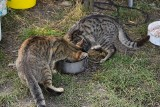 Bezdomne koty mnożą się przy blokach w Wężyskach od miesięcy. Mieszkańcy i gmina sobie z nimi nie radzą?