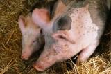 Dopłaty z ARiMR na ogrodzenie dla hodowców świń lub dla spółek na urządzenia wodne