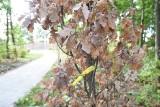Drzewa usychają w Sosnowcu. Trudno im przetrwać suszę
