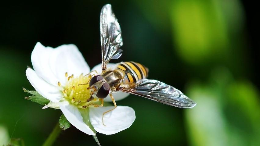 Z kamerami, czujkami: armia pszczół - robotów. Czy zastąpi prawdziwe, wymierające pszczoły?
