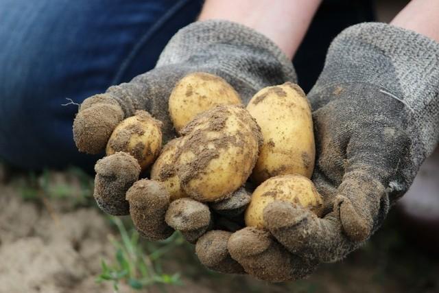 Odnotowano drastyczny spadek powierzchni zasiewów ziemniaków. W porównaniu ze spisem rolnym 2010 - o 39,8%. Jak podali gospodarze, w ciągu osiemnastu lat zaś - nastąpił spadek o 72%.
