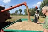 Plony zbóż w Podlaskiem są dobre, chociaż ten rok zapowiadał się dramatycznie. Ziarno sypnęło
