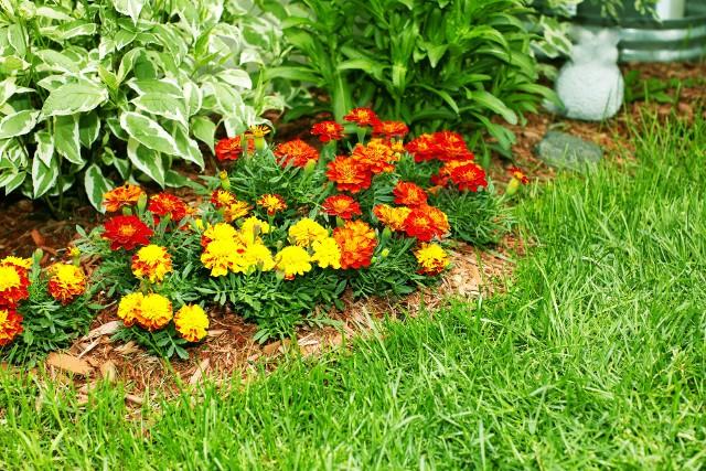 Aksamitki to doskonałe rośliny na obwódki rabat i do pojemników. Ich zapach odstrasza nicienie, dlatego warto je też sadzić obok zagonów marchwi