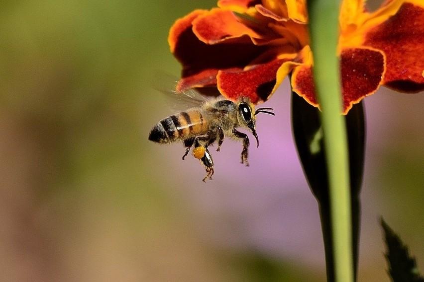 W akcję Adoptuj Pszczołę włączyły się tysiące osób