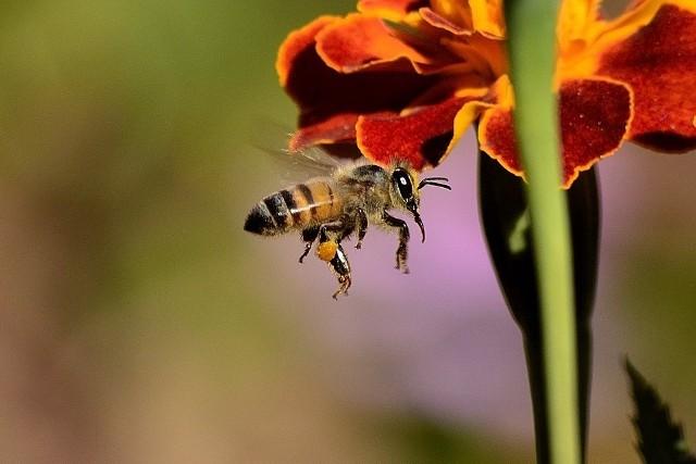 Oprócz Wilka I Kury Możesz Też Adoptować Pszczołę