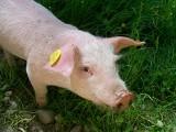 3 przykazania dla hodowców świń w związku z ASF
