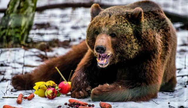 Niedźwiedź Baloo zjada swój tort urodzinowy