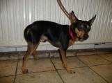 Psy do adopcji z toruńskiego schroniska dla zwierząt