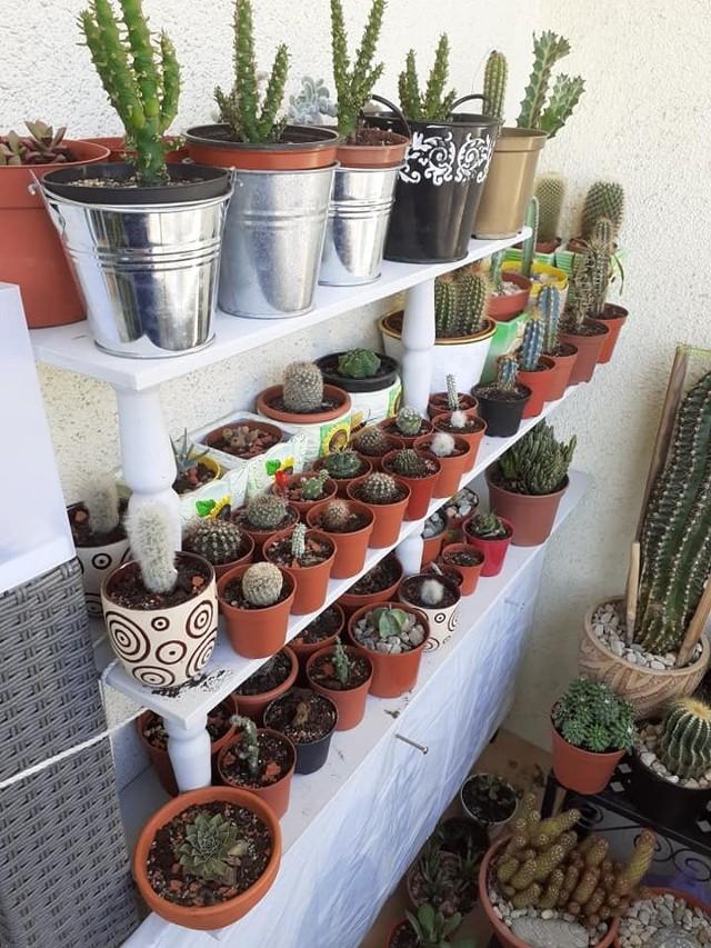 Okazała kolekcja kaktusów.