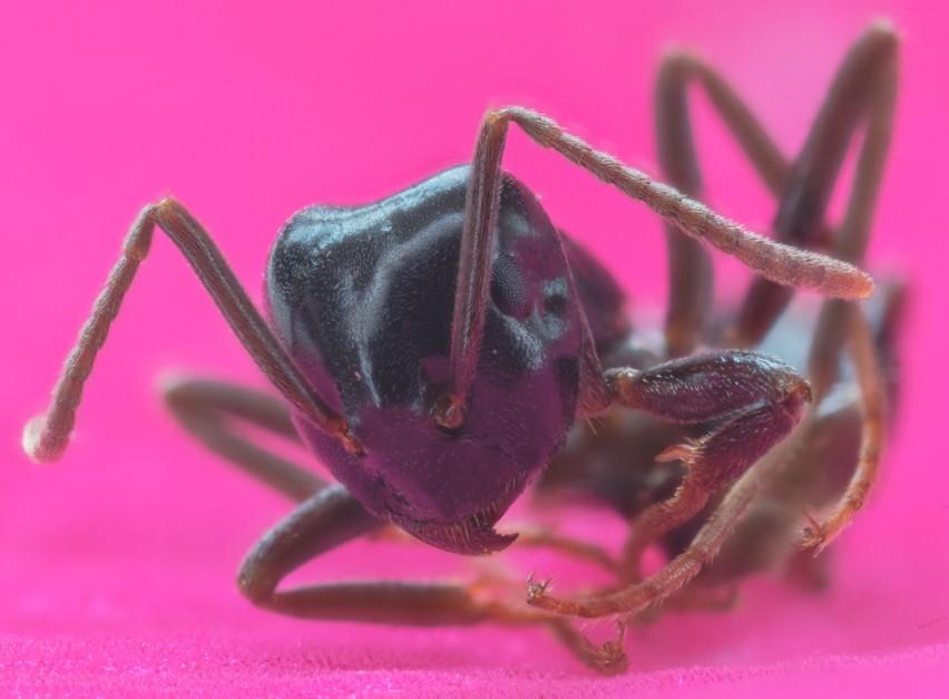 Mrówki faraona...