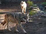 Bratobójcza walka wilków w zoo
