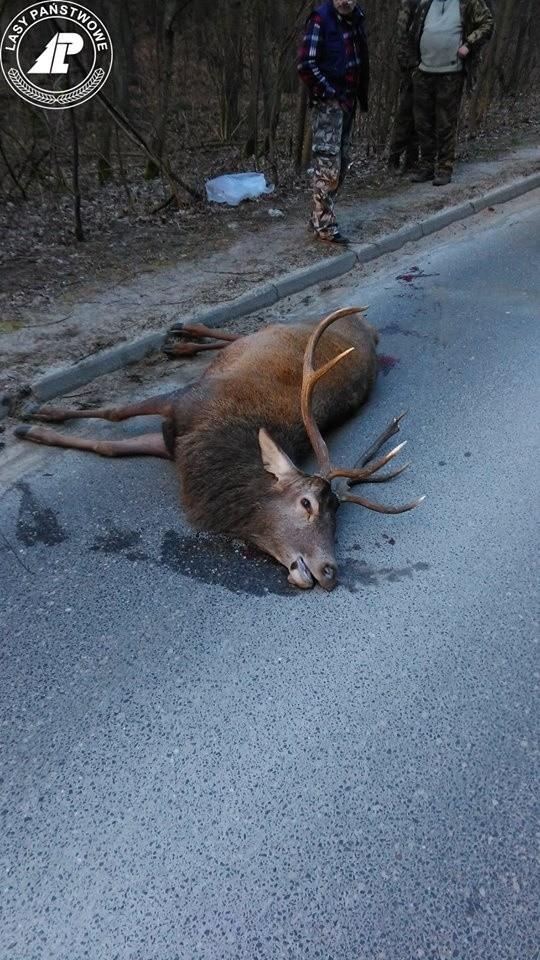 Wypadek z udziałem jelenia na drodze z Łapina Kartuskiego do Kolbud [ZDJĘCIA]Samochód uderzył w jelenia na drodze  z Łapina Kartuskiego do Kolbud