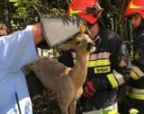 Akcja ratunkowa w Sandomierzu. Koziołek utknął miedzy prętami ogrodzenia. Konieczna była pomoc strażaków ze sprzętem hydraulicznym