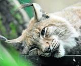To już pewne: Rysie są na Dolnym Śląsku. Na jakie zwierzęta jeszcze trafimy?