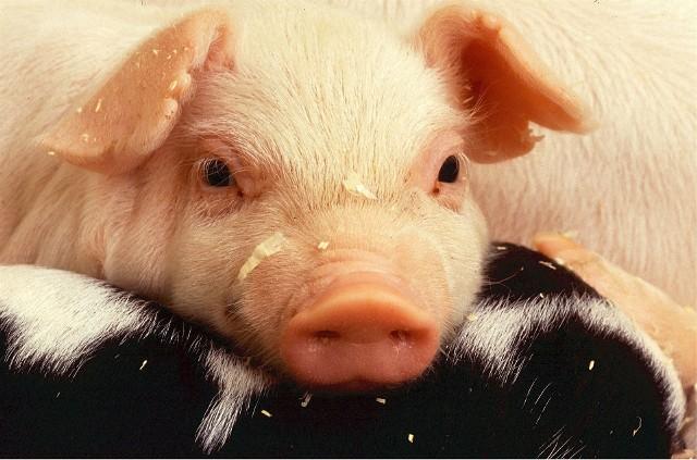Na jakiej zasadzie dzielimy zwierzęta na przyjaciół i te do zjedzenia - to jedno z pytań, jakie stawia Dariusz Gzyra