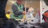 Znany psi fryzjer w Częstochowie maltretuje psy w salonie. Szokujące nagranie z ukrytej kamery wyciekło do sieci. Zobaczcie WIDEO