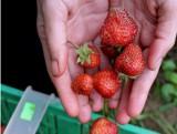Klęska nieurodzaju - drogie truskawki, wiśnie i ogórki