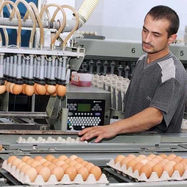 Grupa drobiarzy zakupili urządzenie do sortowania jajek.