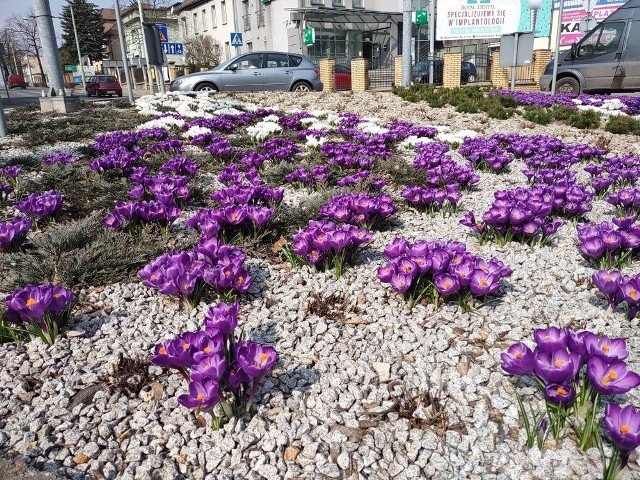 Rybnik. Kilkanaście tysięcy cebul kwiatów nasadzono na skwerach. Jest pięknie!Zobacz kolejne zdjęcia. Przesuwaj zdjęcia w prawo - naciśnij strzałkę lub przycisk NASTĘPNE