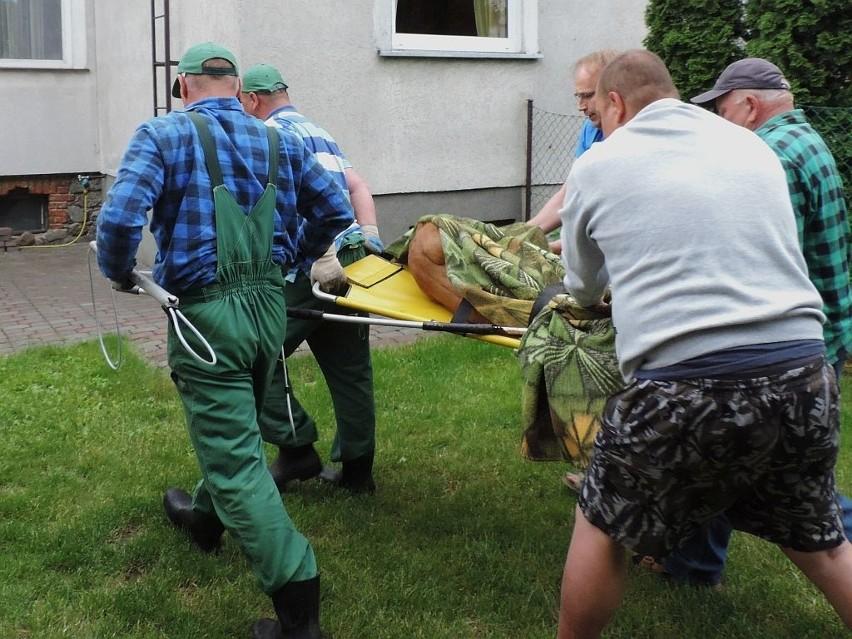 Kozioł w InowrocławiuAkcja zakończyła się szczęśliwe. Doktor Borkowski za naszym pośrednictwem dziękuje Sławomirowi Stefańczykowi, mieszkańców osiedla, który bardzo pomógł pracownikom schroniska.