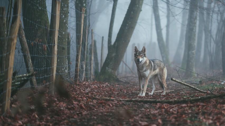 W Lubuskiem coraz częściej można spotkać wilki. Drapieżniki...