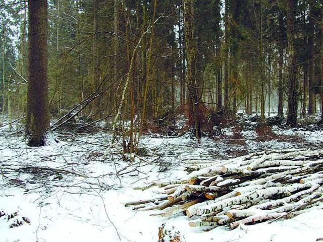 Regionalna Dyrekcja Lasów Państwowych twierdzi, że drewno w Puszczy Białowieskiej jest pozyskiwane legalnie