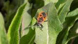 Kowal bezskrzydły w ogrodzie – to owad szkodliwy czy pożyteczny? Zwalczanie kowala bezskrzydłego
