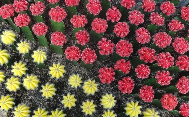 Kaktusy z kolorowymi główkami wyglądają uroczo. Trzeba jednak o nie odpowiednio zadbać, a mają specyficzne wymagania, bo w rzeczywistości to... dwa gatunki kaktusów, zrośnięte ze sobą.