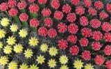 Kaktusy z kolorowymi główkami. Czym są i jak o nie dbać