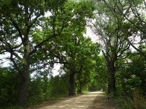 Wartość zabytkową  przydrożnej alei stanowią 104 drzewa, a przeważają dęby szypułkowe