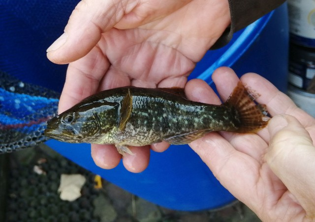 Trawianka jest jednym z najbardziej inwazyjnych gatunków ryb w Polsce.