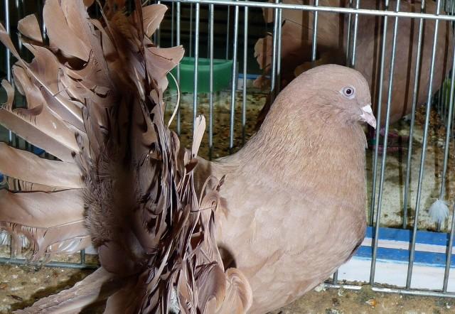 Wystawa gołębi w weekend w StarachowicachNajładniejsze gołębie nie zawsze znajdują uznanie jury