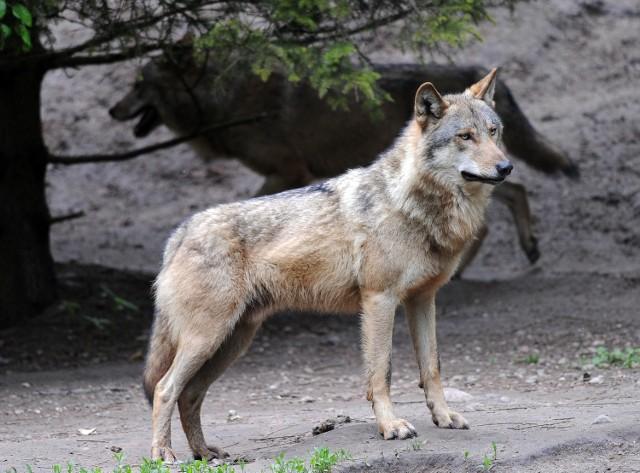 Wataha wilków niedawno przywędrowała do powiatu tomaszowskiego, 5 marca samotny osobnik widziany był natomiast na ulicach Łodzi. Drapieżnik opuścił miasto, zanim udało się go schwytać