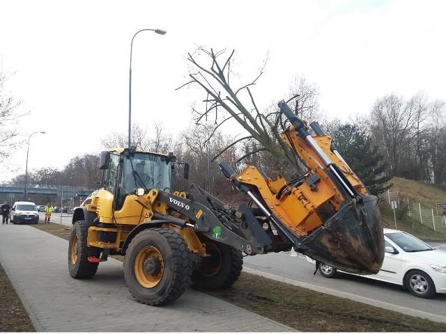 Zarząd Zieleni Miejskiej przesadził pięć sporych rozmiarów lip z ul. Kostaneckiego do pobliskiego parku na os. Rżąka. Drzewa zostały specjalnie przycięte, aby łatwiej przyjęły się na wiosnę.