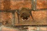 Twój Sąsiad:Gacek brunatny - latający brzydal