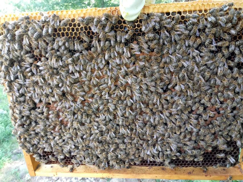 Tak wygląda dojrzała pszczela rodzina....